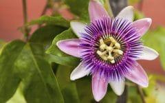 Os 8 Benefícios da Flor da Paixão Para Saúde!