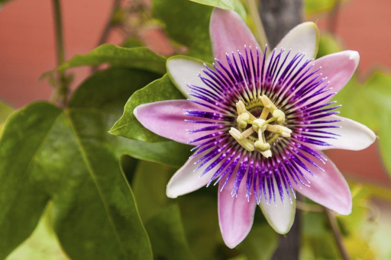 Benefícios da Flor da Paixão
