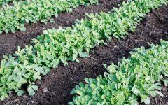 Os 10 Benefícios Das Folhas de Feno-Grego Para Saúde!