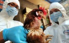 Gripe Aviária – O que é, Sintomas e Tratamentos