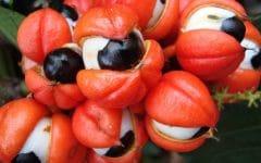 Os 10 Benefícios do Chá de GuaranáPara Saúde