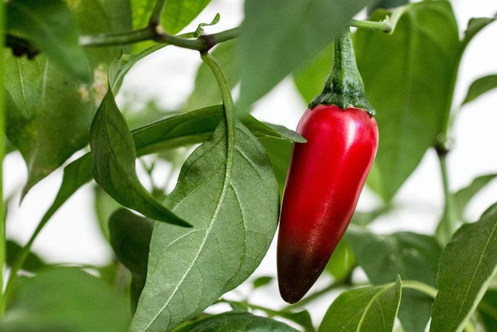 Benefício da Pimenta Jalapeño
