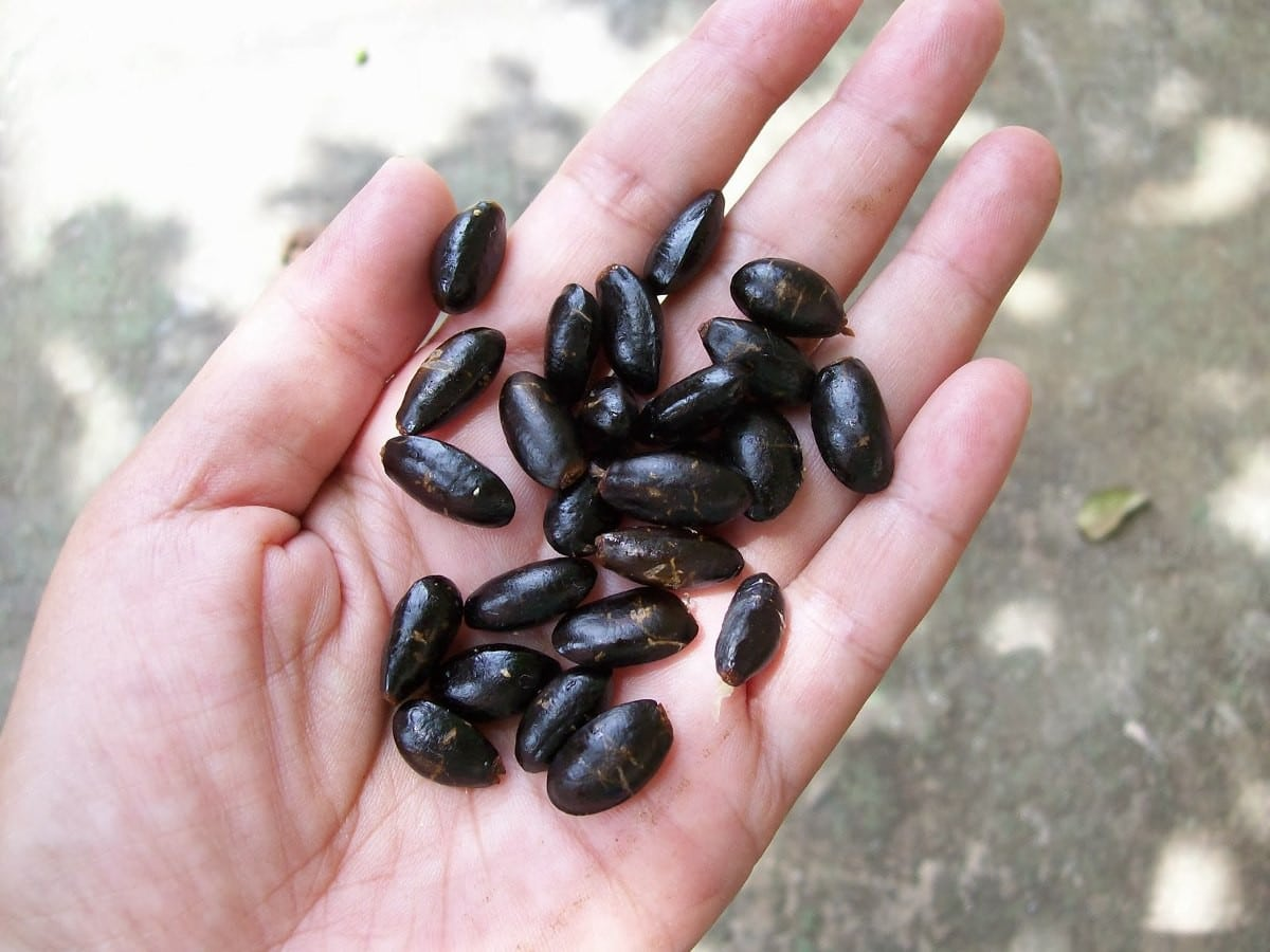Benefícios da Semente de Pinha
