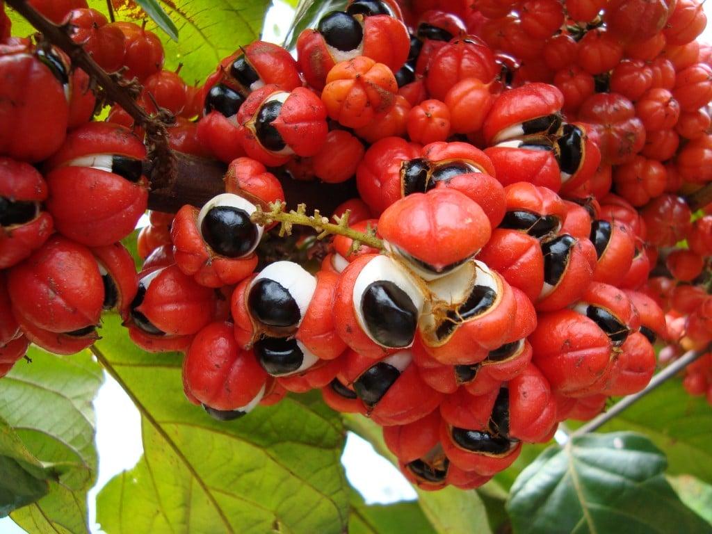 Benefícios do Suco de Guaraná