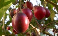 Os 10 Benefícios do Tomate Arbóreo Para Saúde