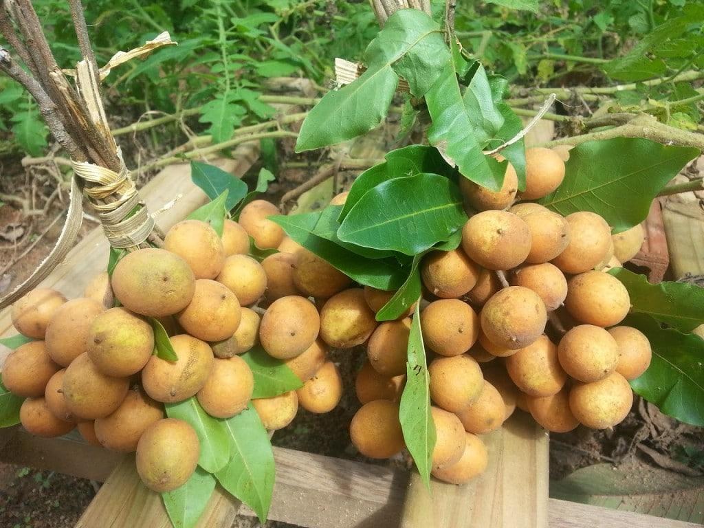 Benefícios da Vitamina de Pitomba