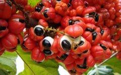 Os 12 Benefícios da Vitamina de Guaraná Para Saúde