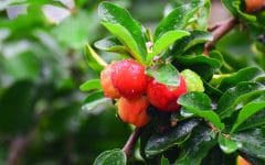 15 Benefícios da Acerola – Para que Serve e Propriedades da Acerola!