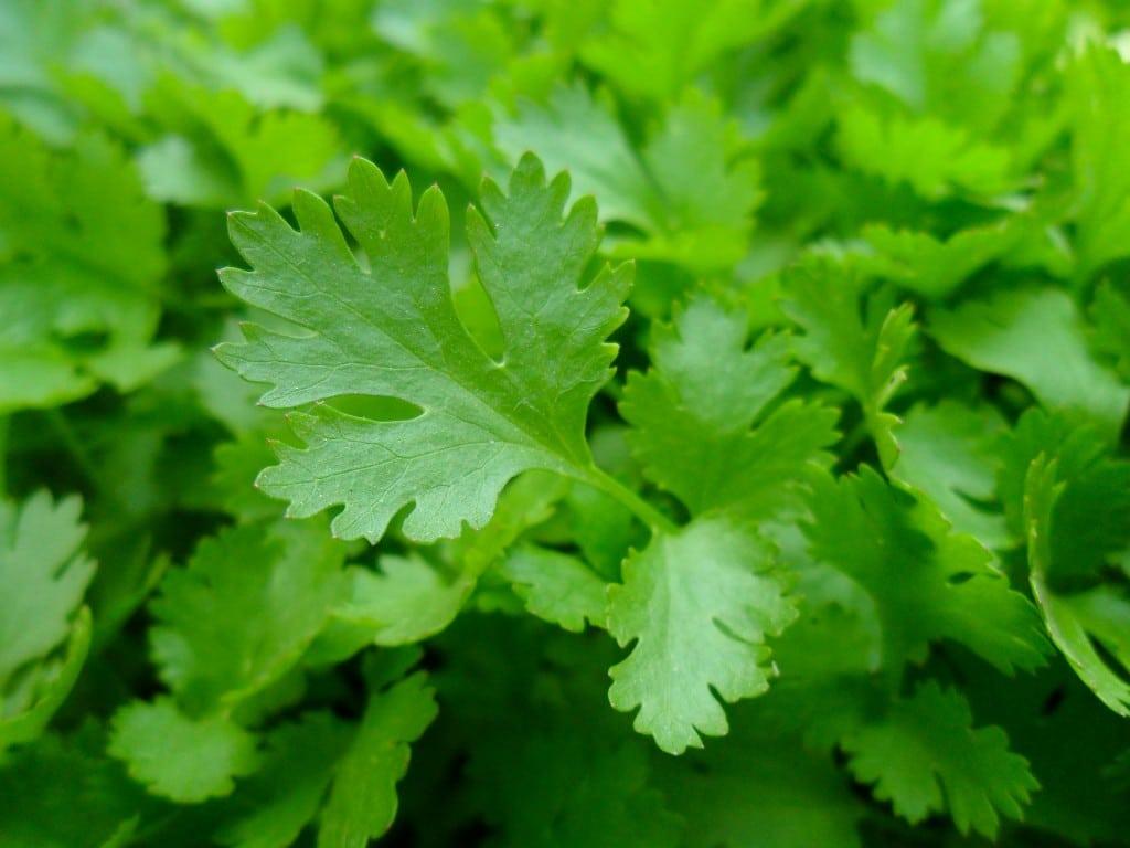 Beneficios do Cha de Salsa