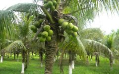 Os 25 Benefícios do Coco Para Saúde
