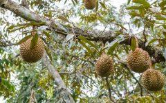 Os 15 Benefícios da Durian Para Saúde