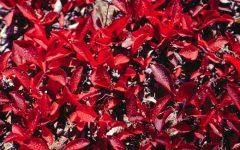 Os 10 Benefícios do Espinafre Vermelho Para Saúde