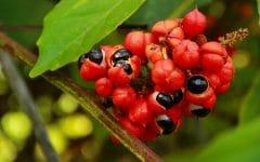 Os 12 Benefícios do Guaraná Para Saúde