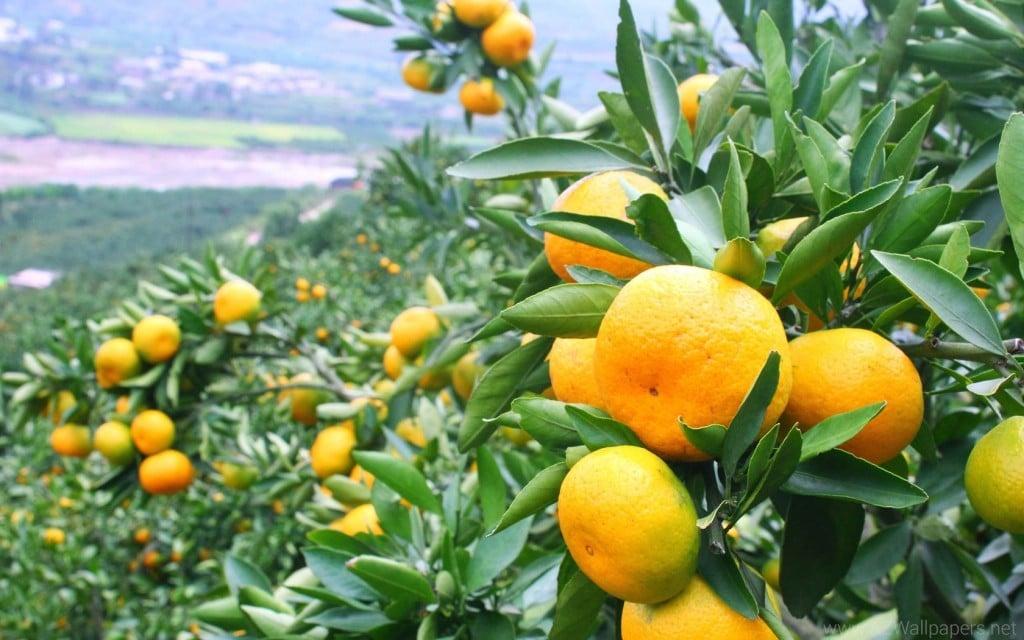 Benefício da Mandarina