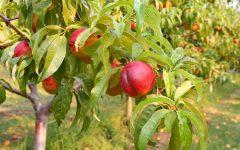 Os 18 Benefícios da Nectarina Para Saúde