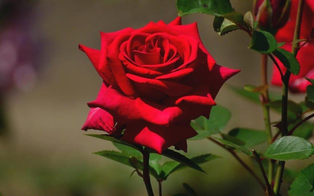 Resultado de imagem para foto de rosa vermelha