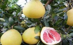 Os 14 Benefícios do Pomelo Para Saúde