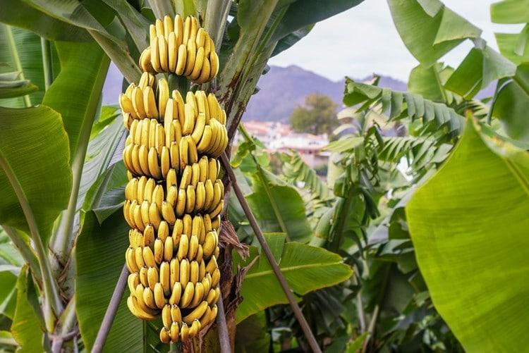 beneficios bananas