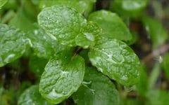 Os 10 Benefícios das Folhas de Hortelã Pimenta Para Saúde