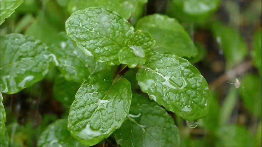 Benefícios das Folhas de Hortelã Pimenta