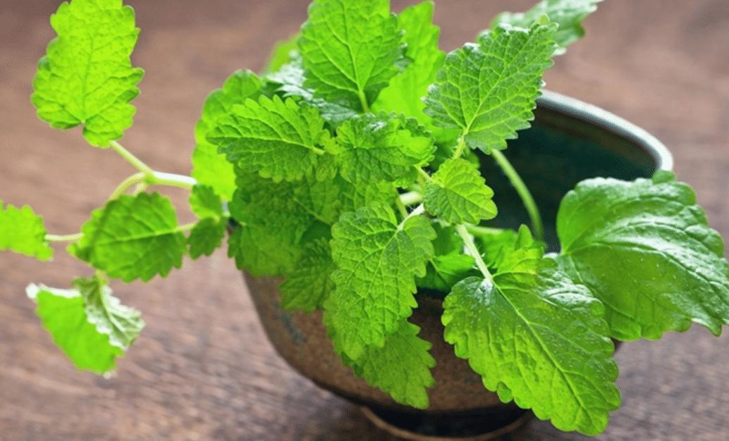 Benefícios da Erva-cidreira