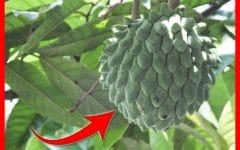 Os 30 Benefícios da Fruta do Conde Para Saúde