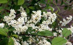 Erva de São Cristóvão – Benefícios, Usos e Efeitos Colaterais