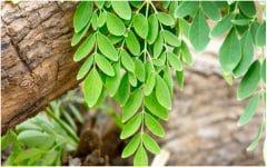 Árvore Milagrosa que Pode Curar 300 Doenças Incluindo Tumores e Diabetes!